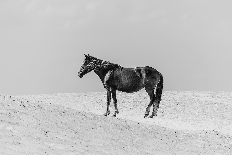 _DSC5063-feral-horse-assateague-island-bw-1000.jpg