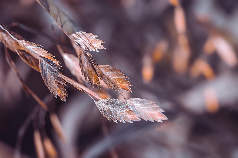 _DSC2273-gold-blue-broadleaf-uniola-meadowlark-botanical-gardens-1000.jpg