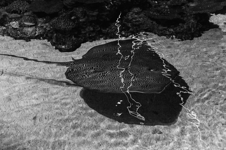 _DSC0528-baltimore-aquarium- reticulated-whiptail-ray-bw-1000.jpg