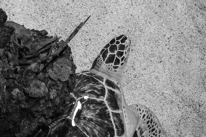 _DSC0600-baltimore-aquqrium-sea-turtle-bw-1000.jpg