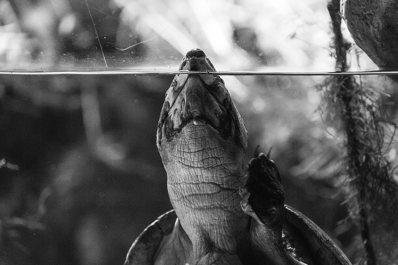 _DSC0838-giant-South-American-river-turtle-baltimore-aquarium-sea-turtle-bw-1000.jpg