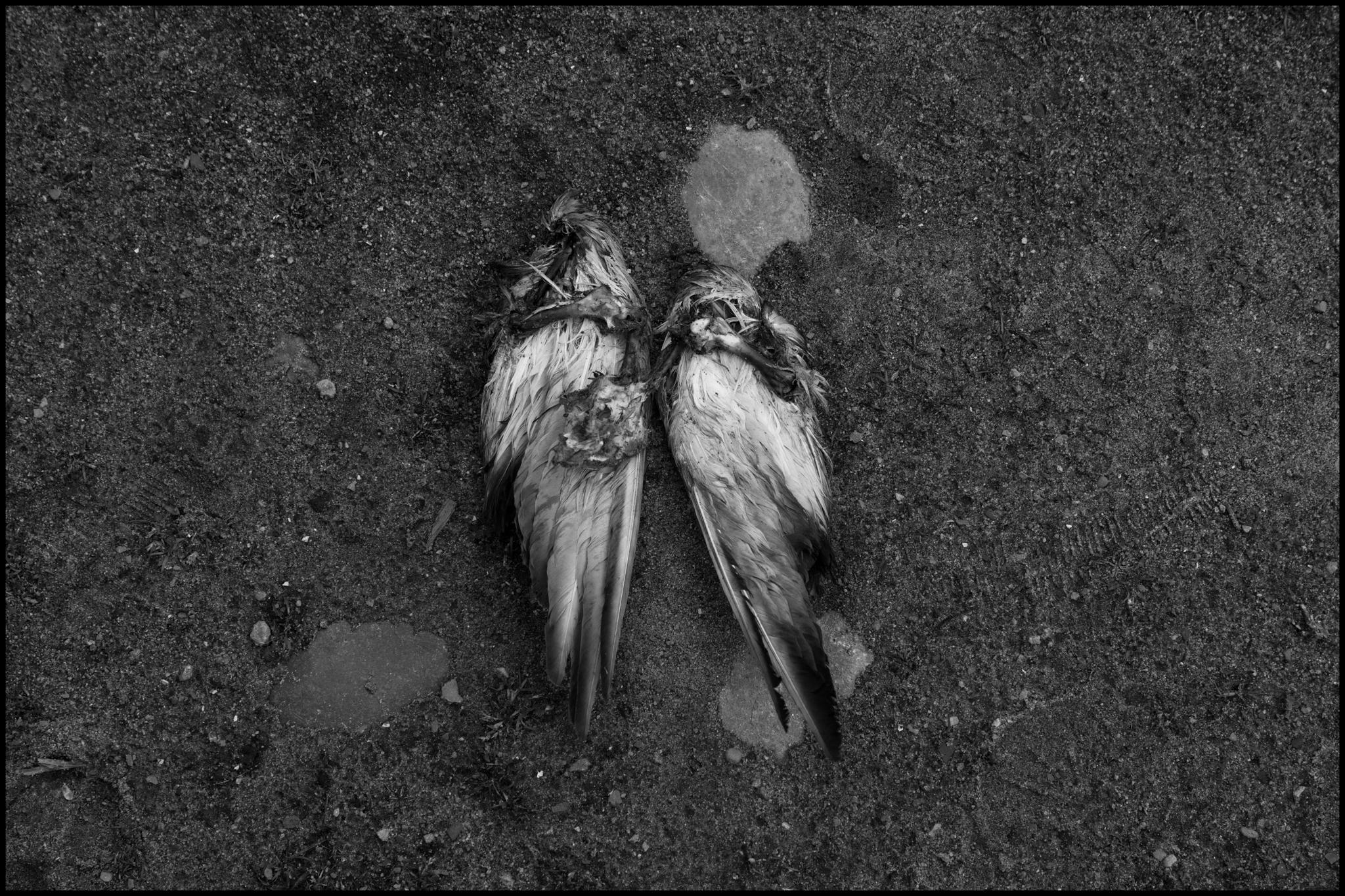 8 May 2019 - Bird carcass, Manchester UK