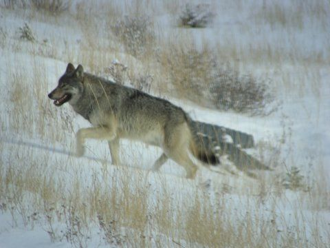 Wolf on bench.jpg