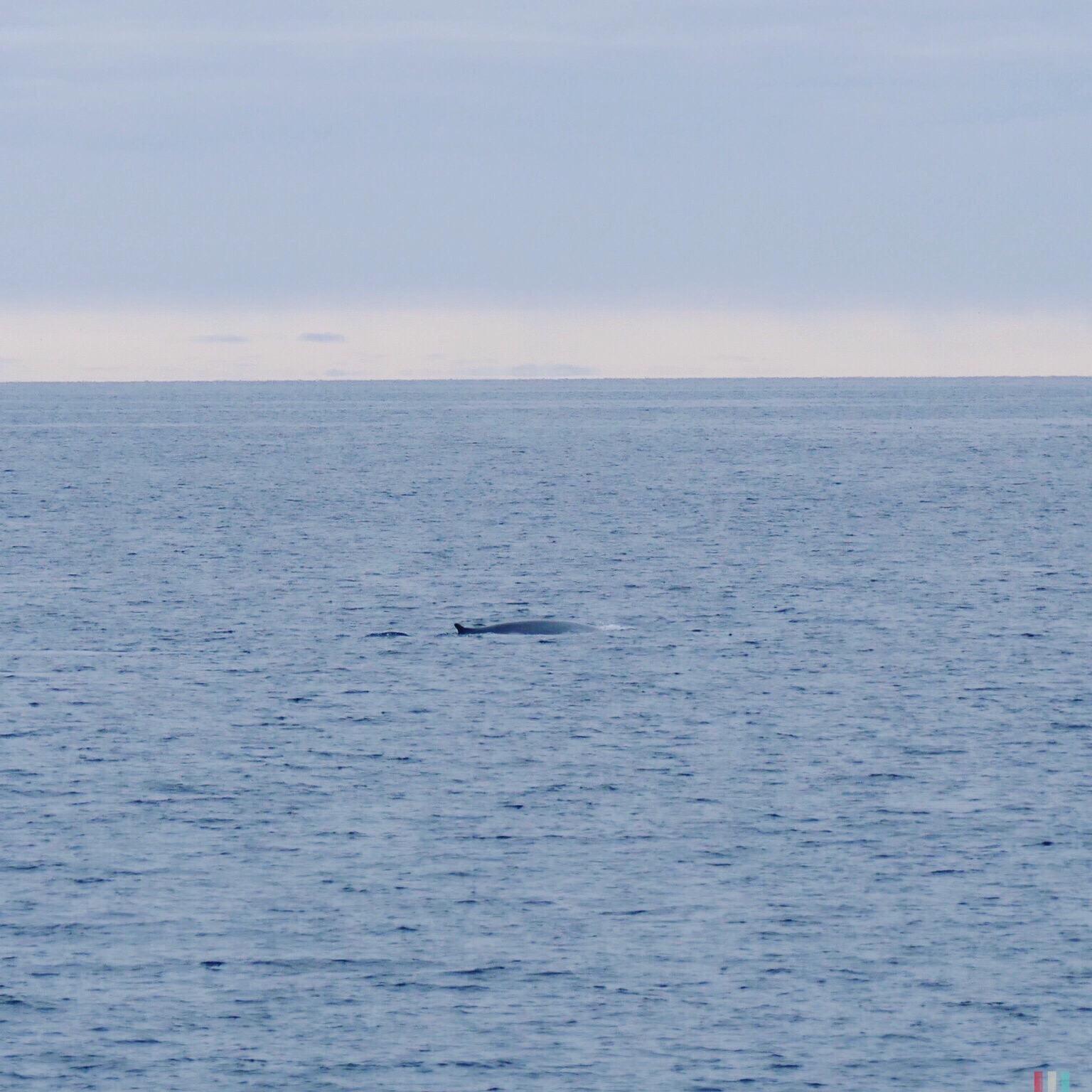 blau- oder finnwal