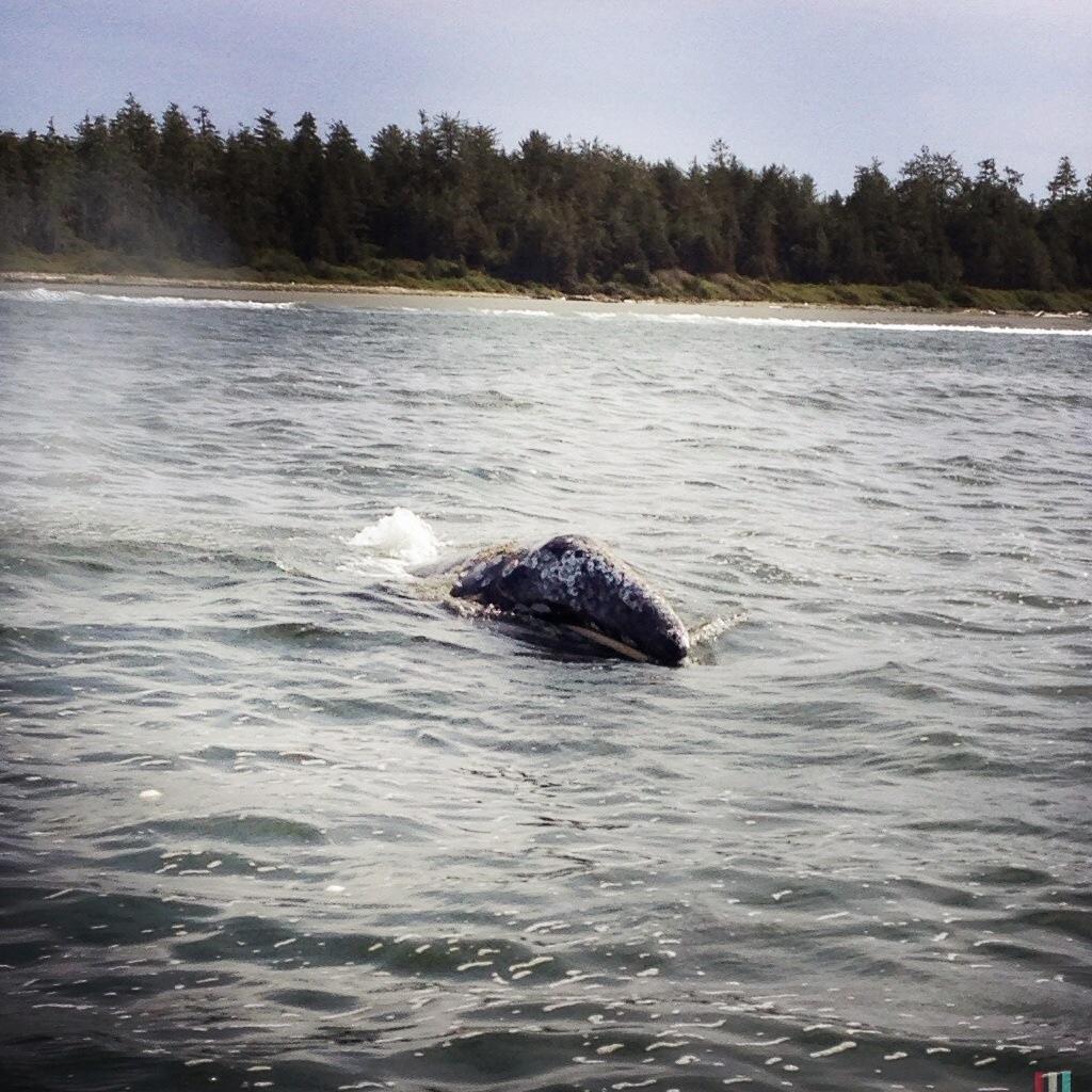 grauwal, vancouver island