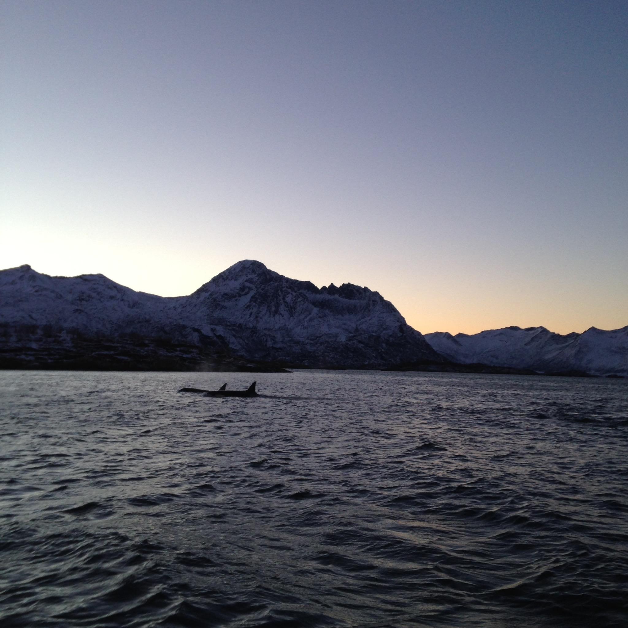 orcas, senja