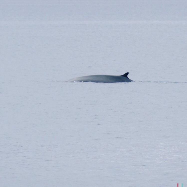 finnwal, spitzbergen
