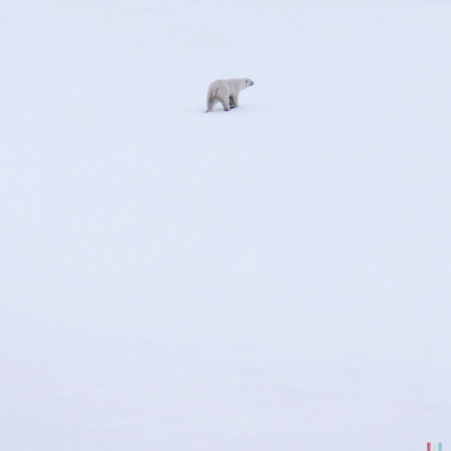 eisbär, spitzbergen