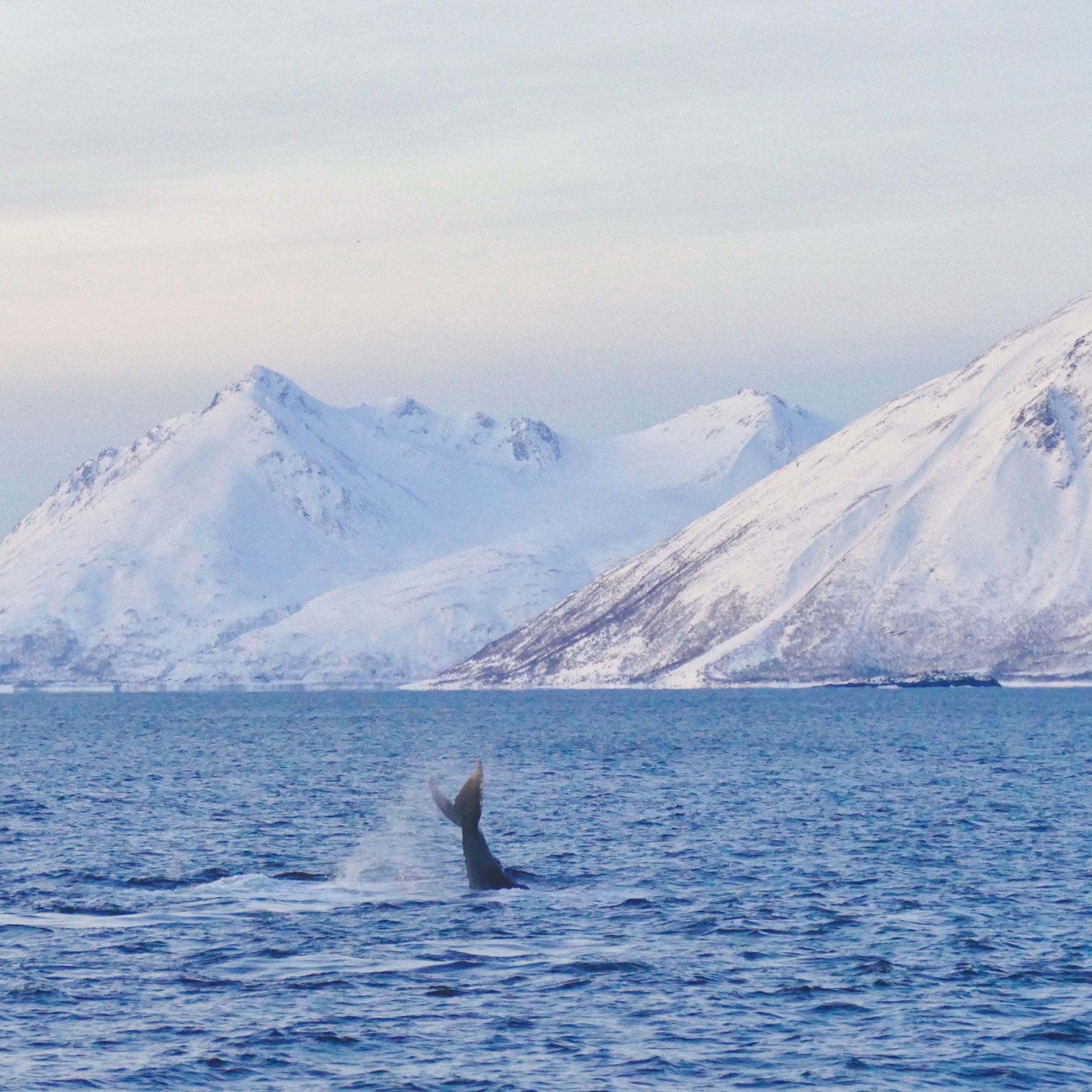 norwegen-wale-buckelwale-08.jpg