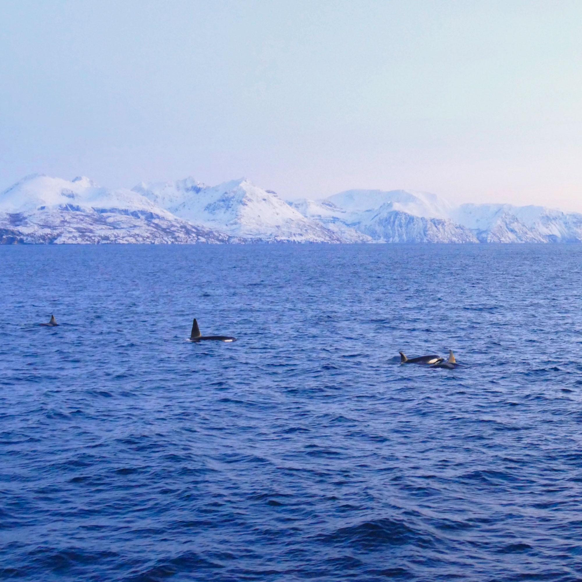 norwegen-wale-orcas-03.jpg