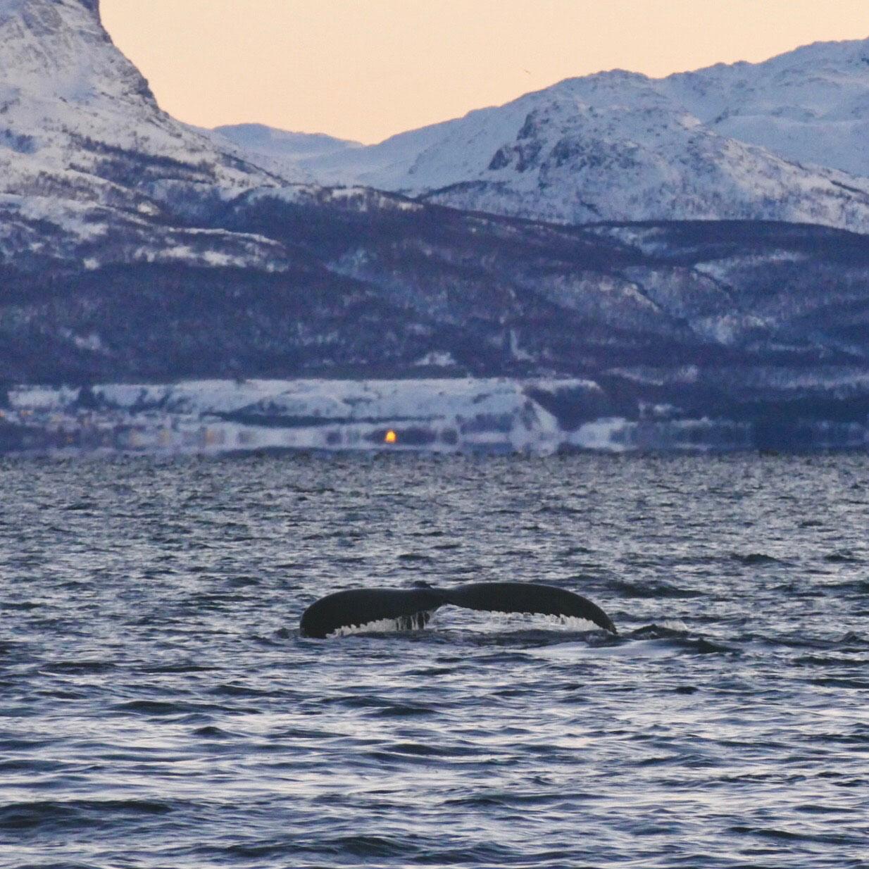 norwegen-wale-buckelwale-05.jpg