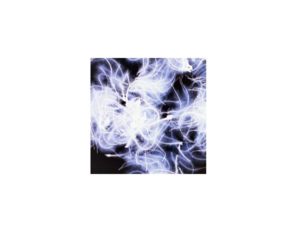 Clematis X-ray