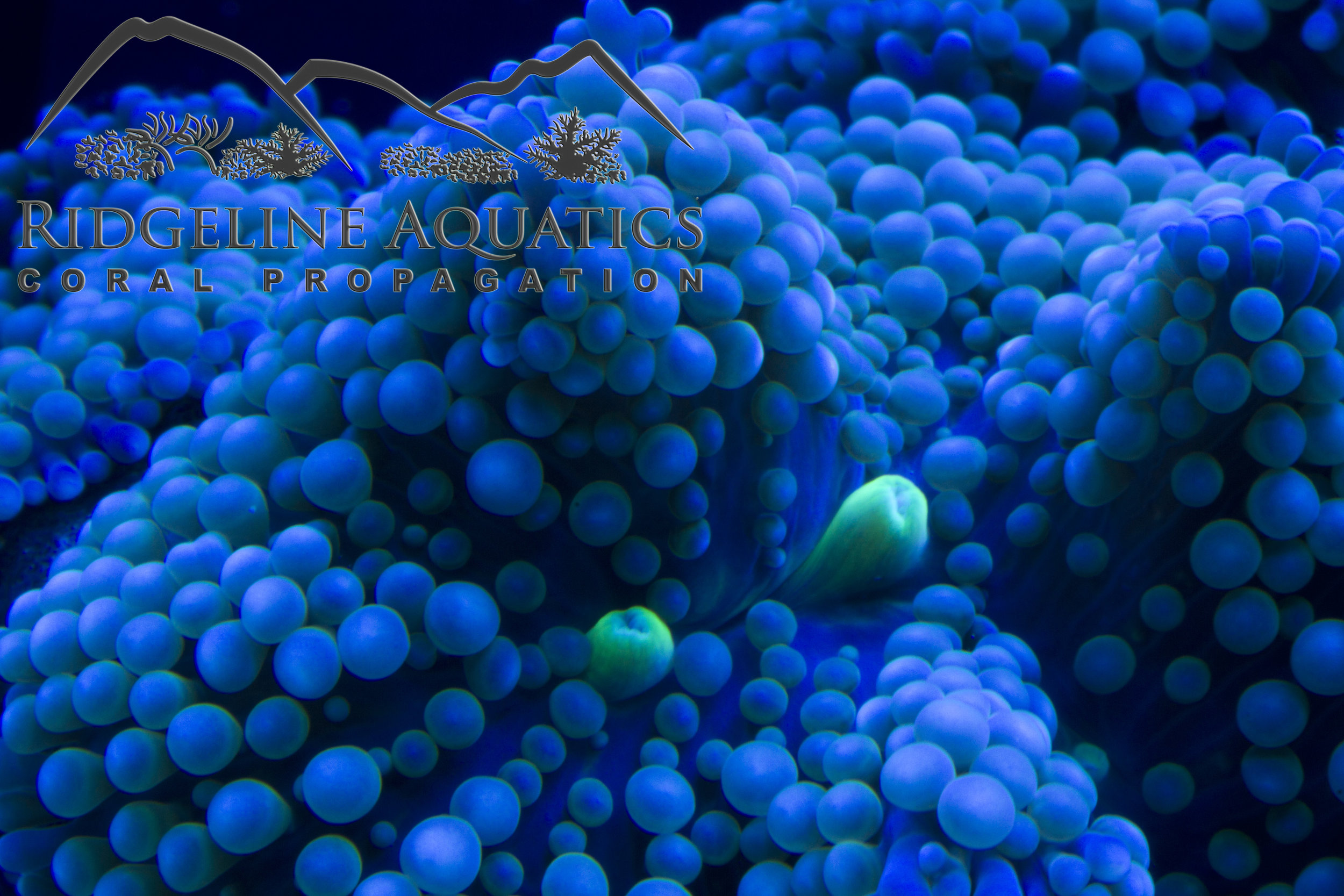 Orange and Green War Coral.jpg