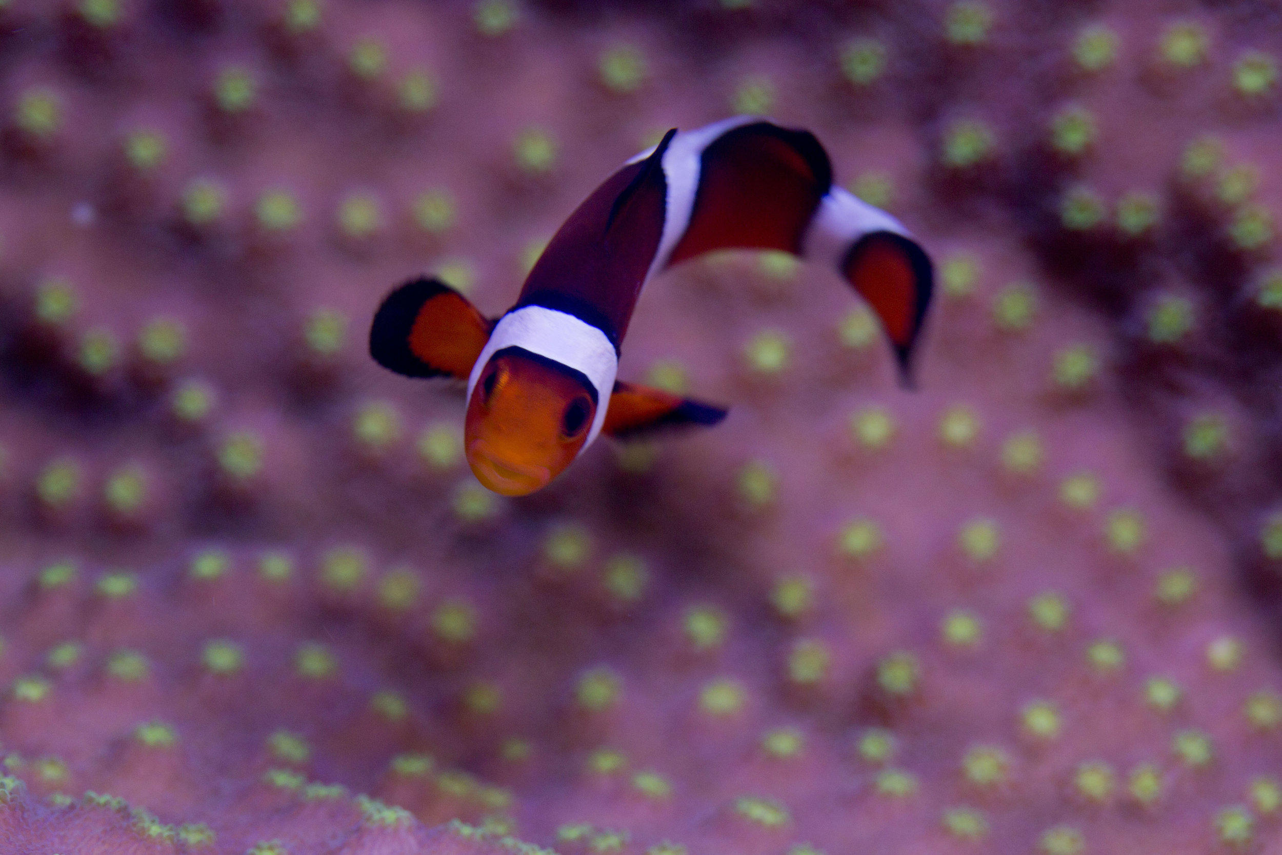 Clownfish | Hollywood Stunner | Ridgeline Aquatics
