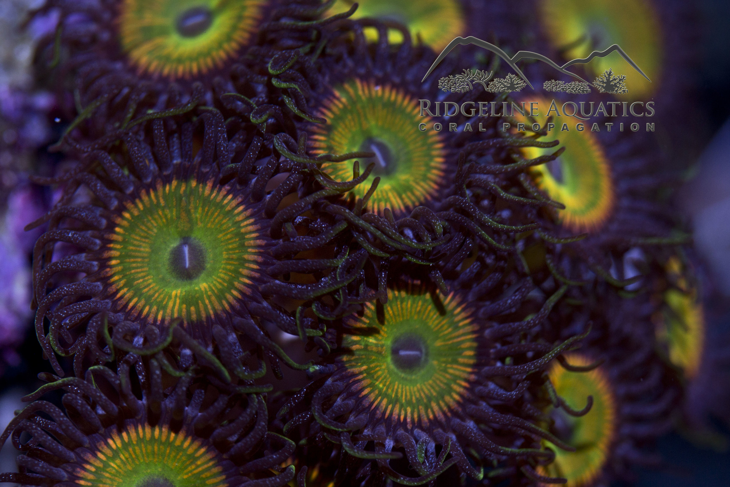 Sunny D Zoanthids always remind me of summer. (It's probably the yellow.)