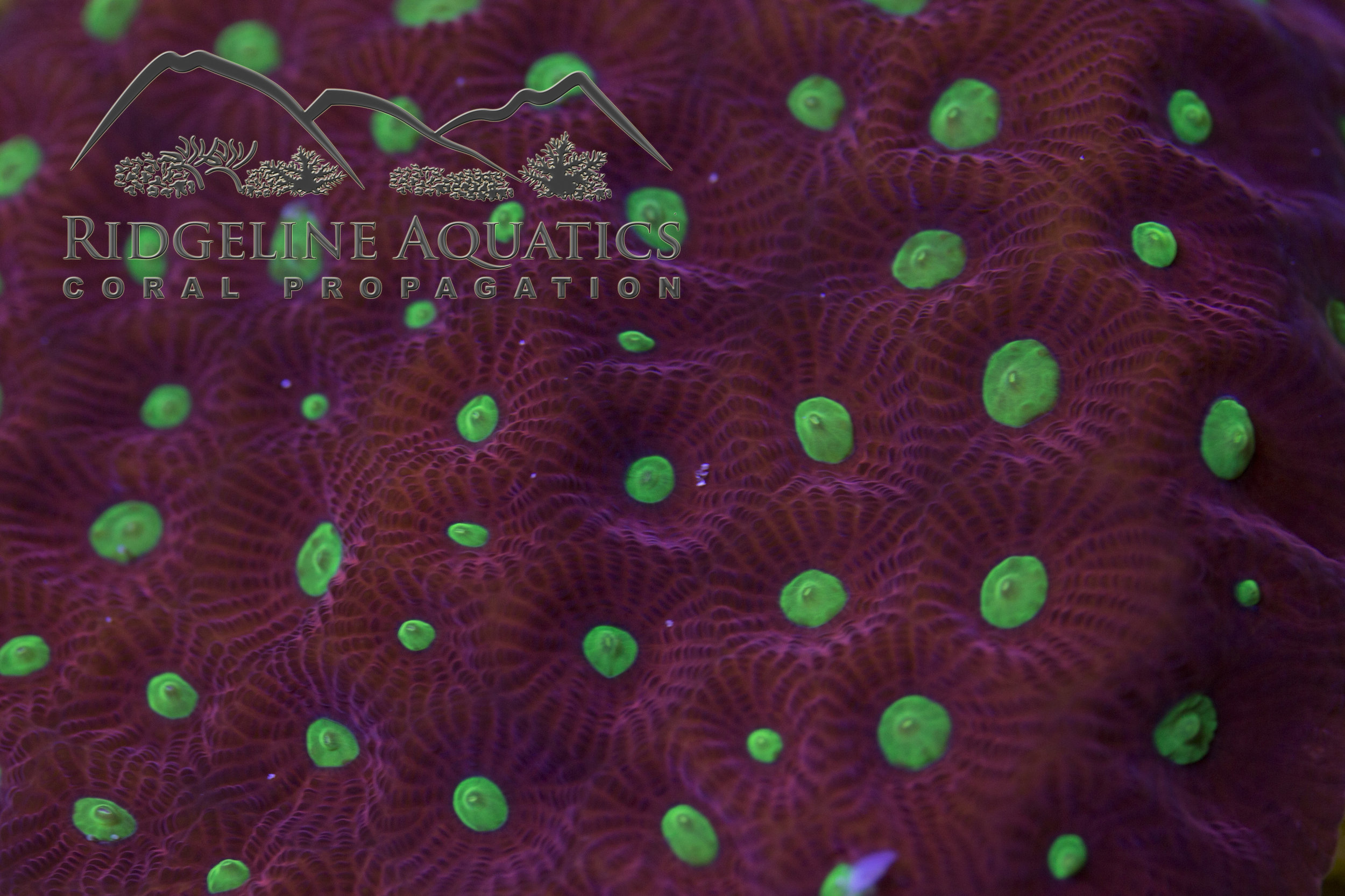 Favites Pentagonia aka the War Coral shows awesome contrast between the neon green mouths and deep red ridges.