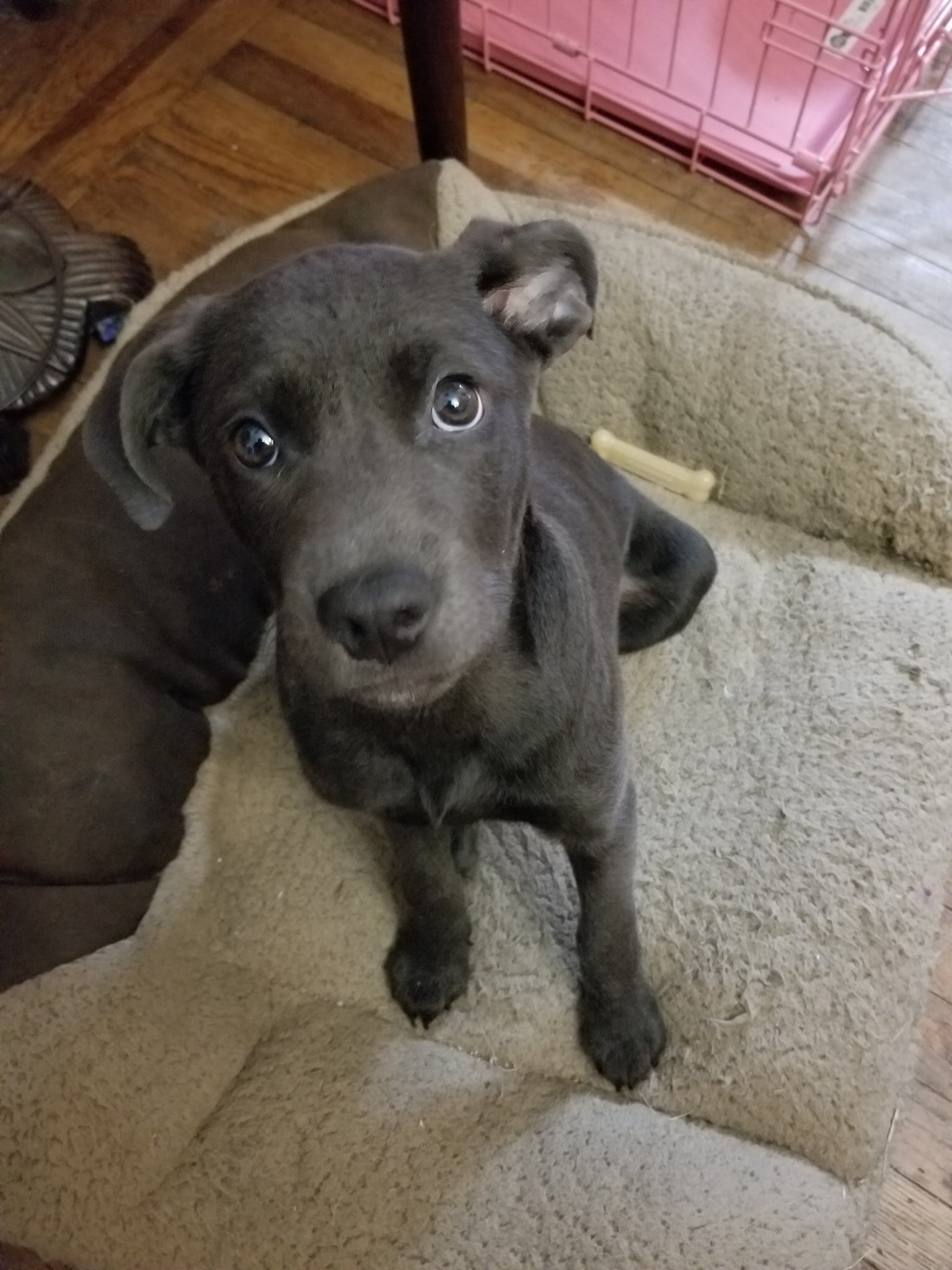 Ramona - as a puppy. Sort of a grey Labrador with some German Shepherd in there.