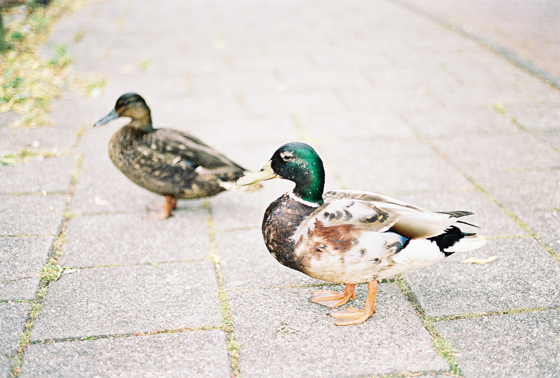 ducks-in-zaandijk-netherlands-european-honeymoon