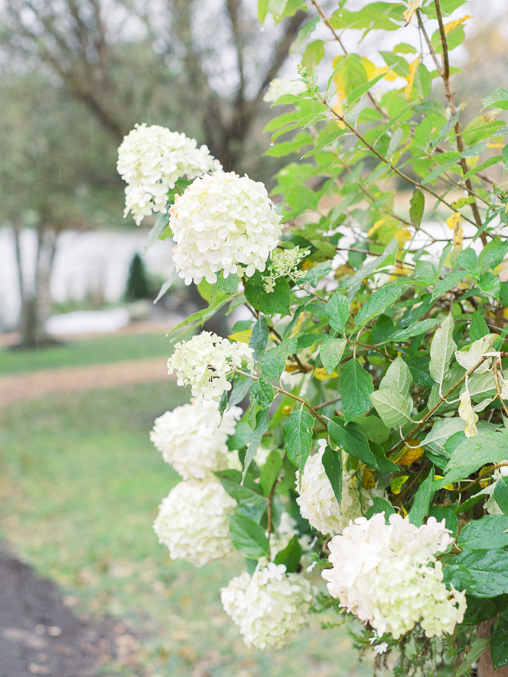 white-hydrangeas-glen-ellen-farm
