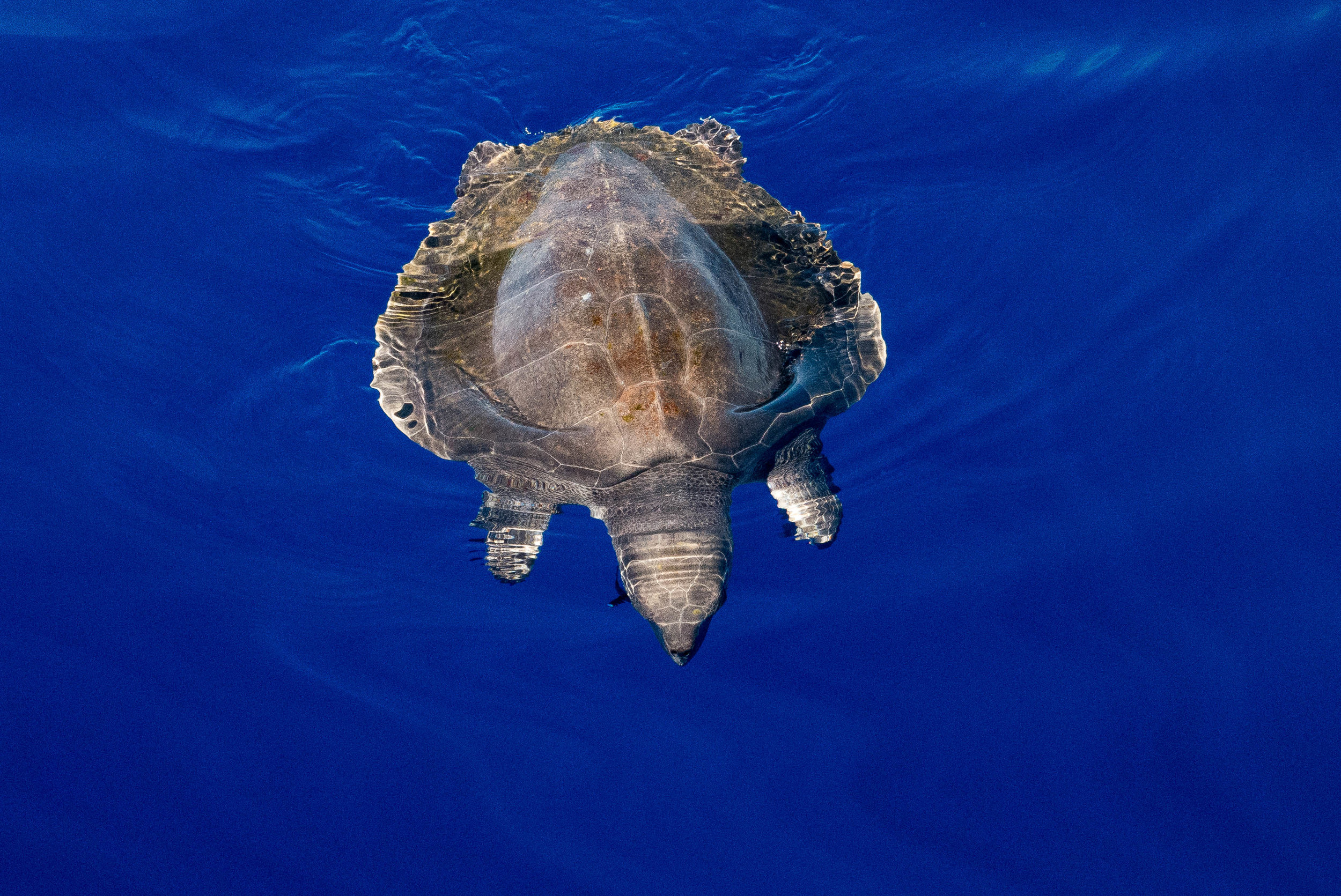A turtle, hundreds of miles from land, as he passed us by when we were in the doldrums. Steady on.