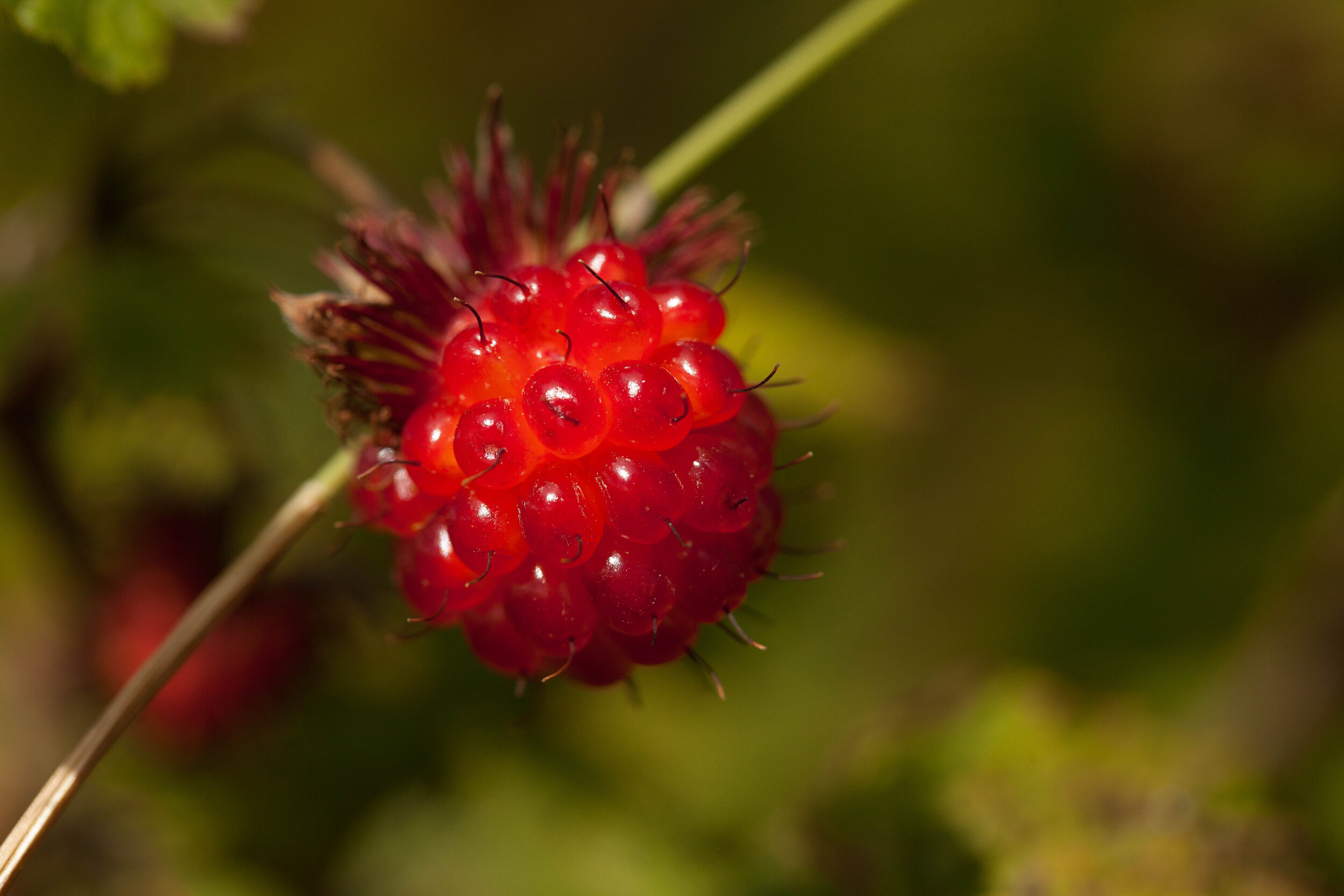 Salmonberries were abundant. A nice change from our diet of passage food.