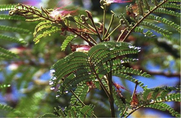 Serianthesflower.jpg