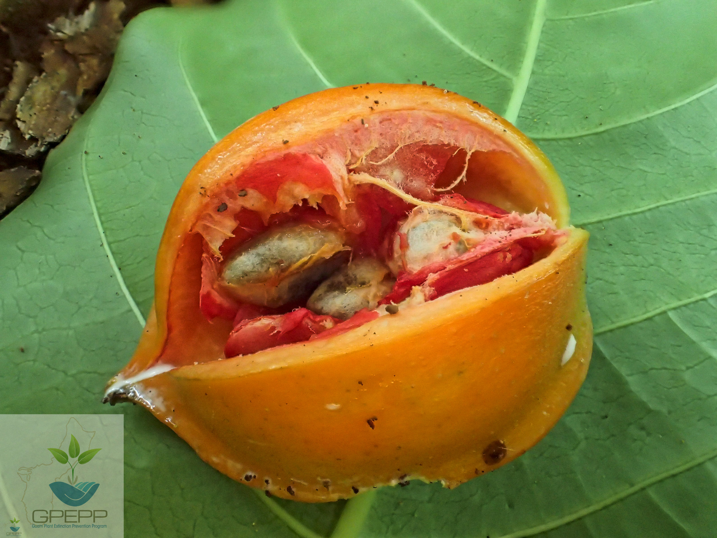 Mature fruit, naturally split open, exposing red flesh surrounding the seeds.