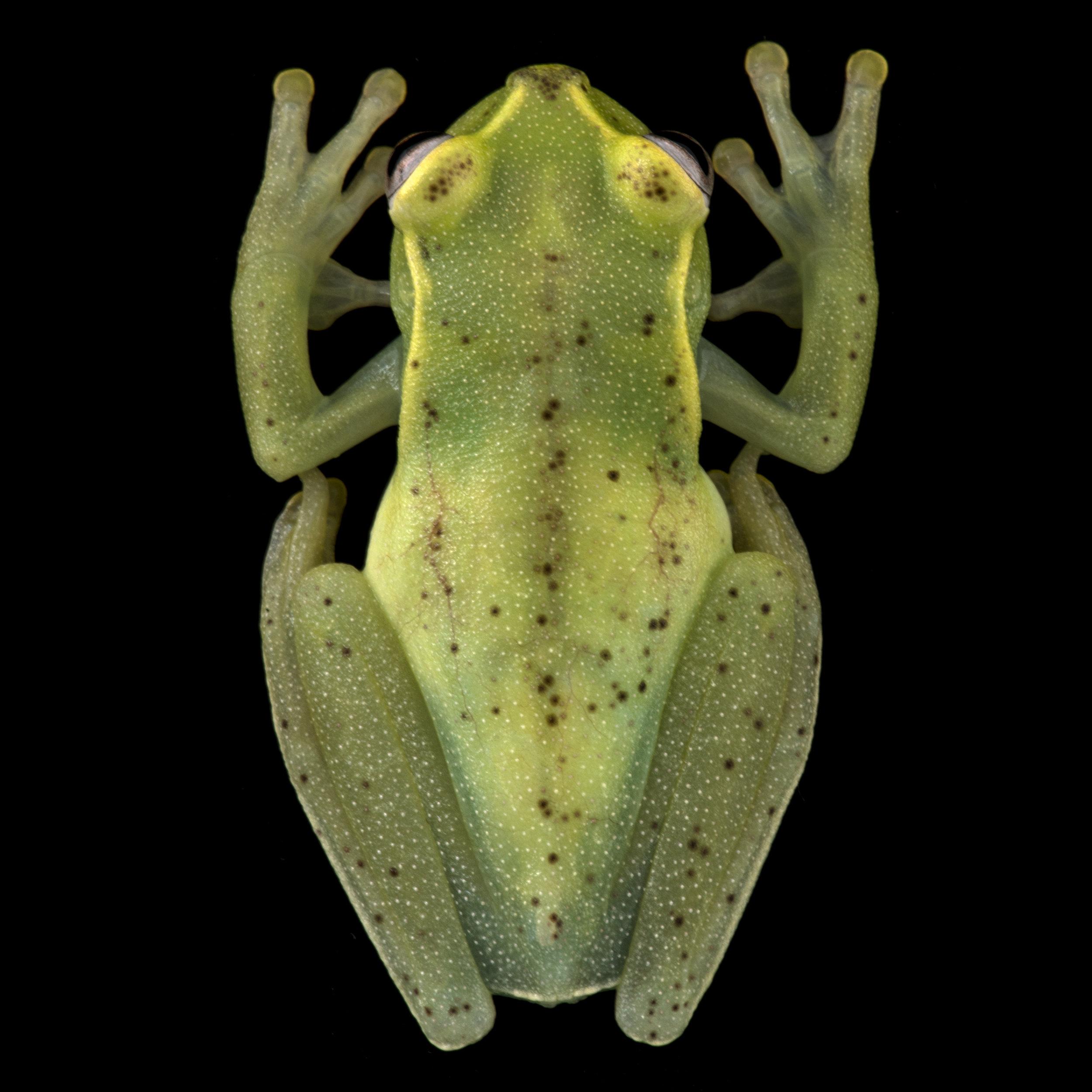 Hyloscirtus mashpi.jpg