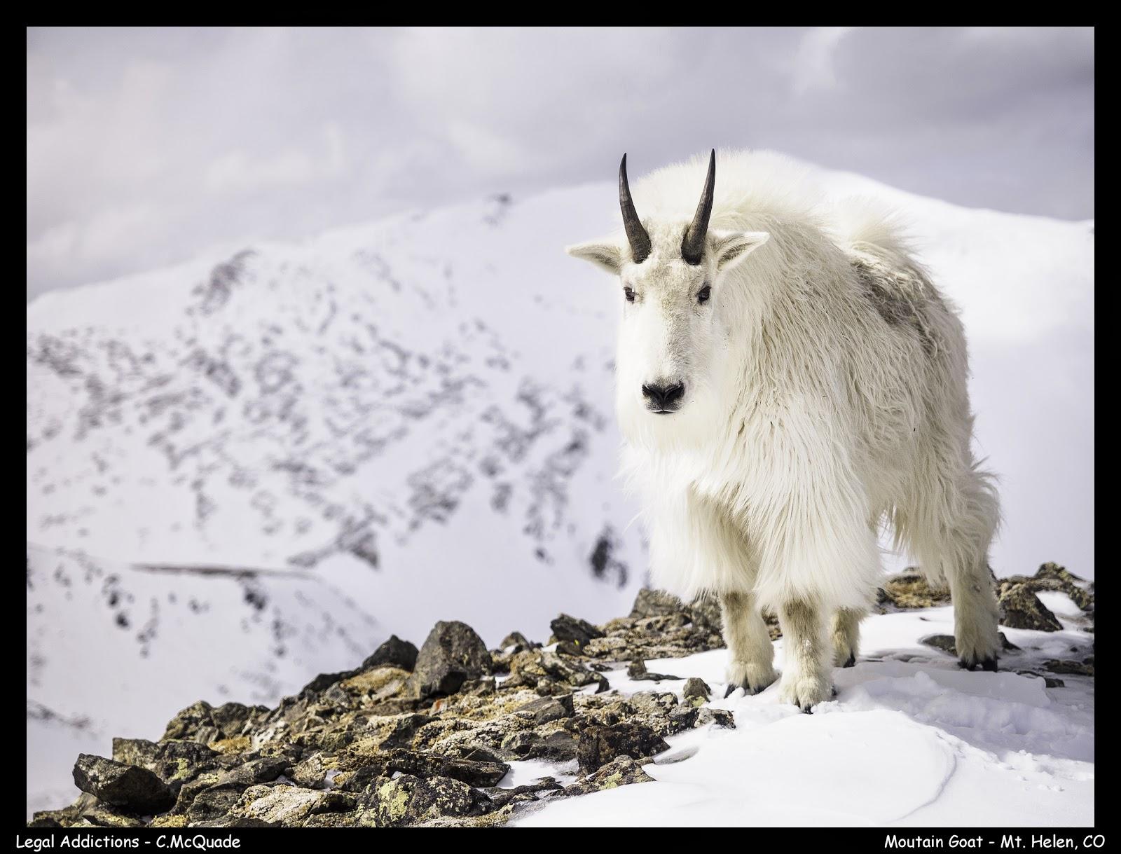 mountain+goat+-+mt+helen-20141535.jpg
