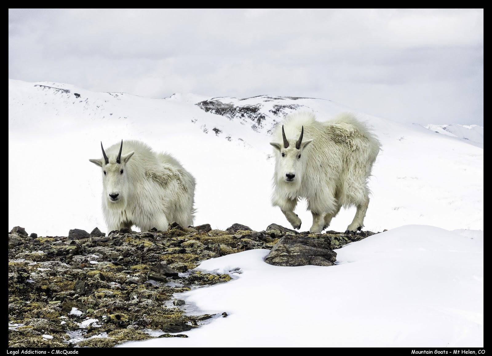 mountain+goats+mt+helen+2-20141402.jpg