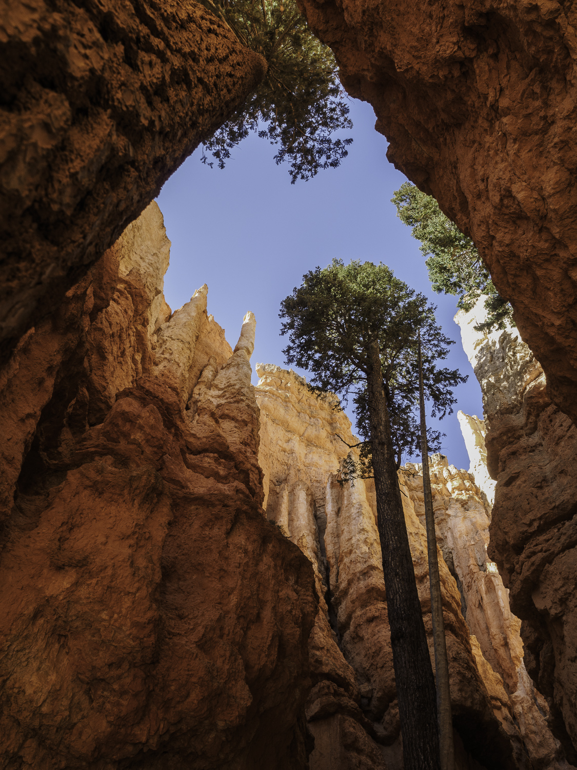 Trees Surrounded - Bryce Canyon