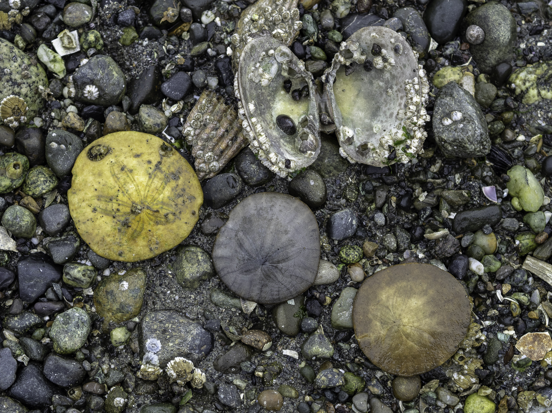 Sand Dollars - Indian Island, WA