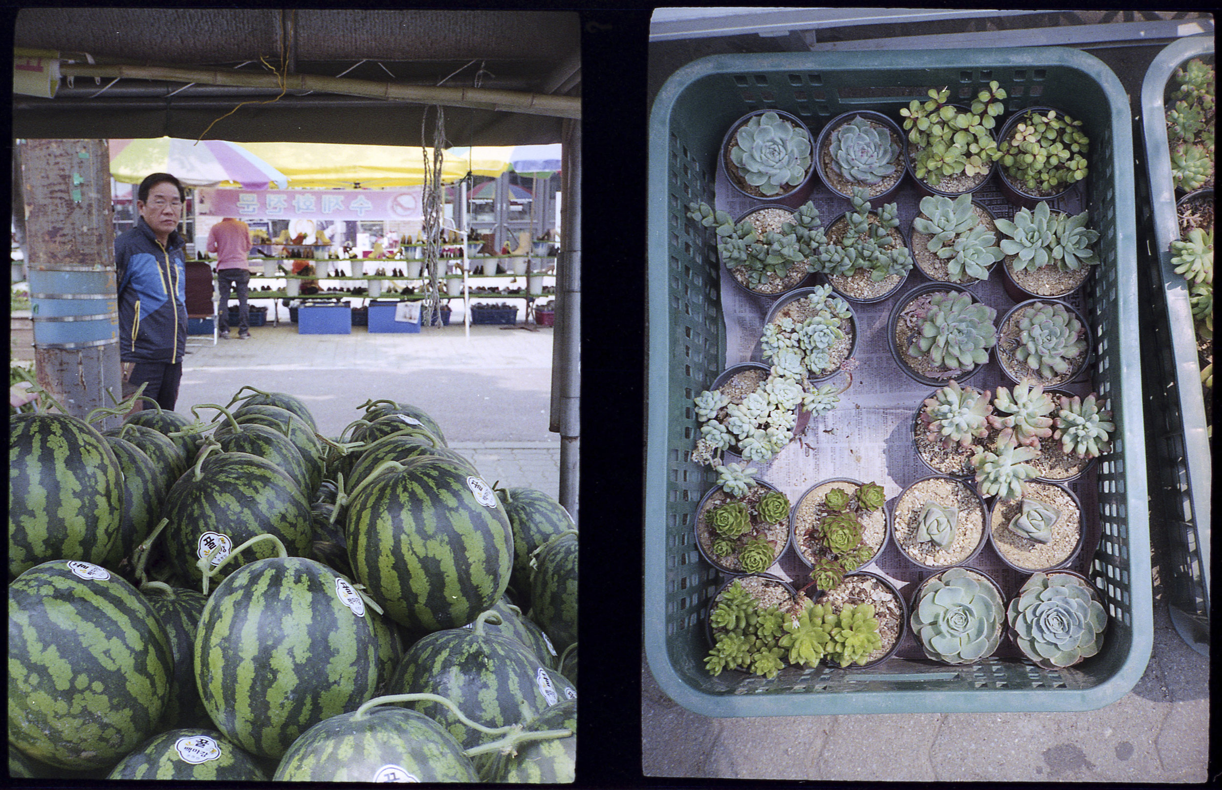 Watermelons and Succulents