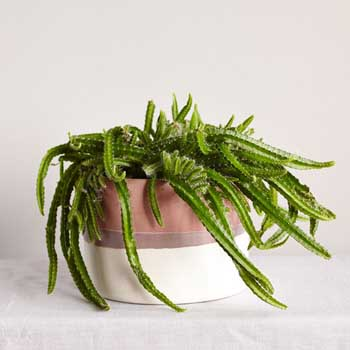 http://www.thesill.com/collections/table-top-plants/products/sonora-collection?variant=971348876