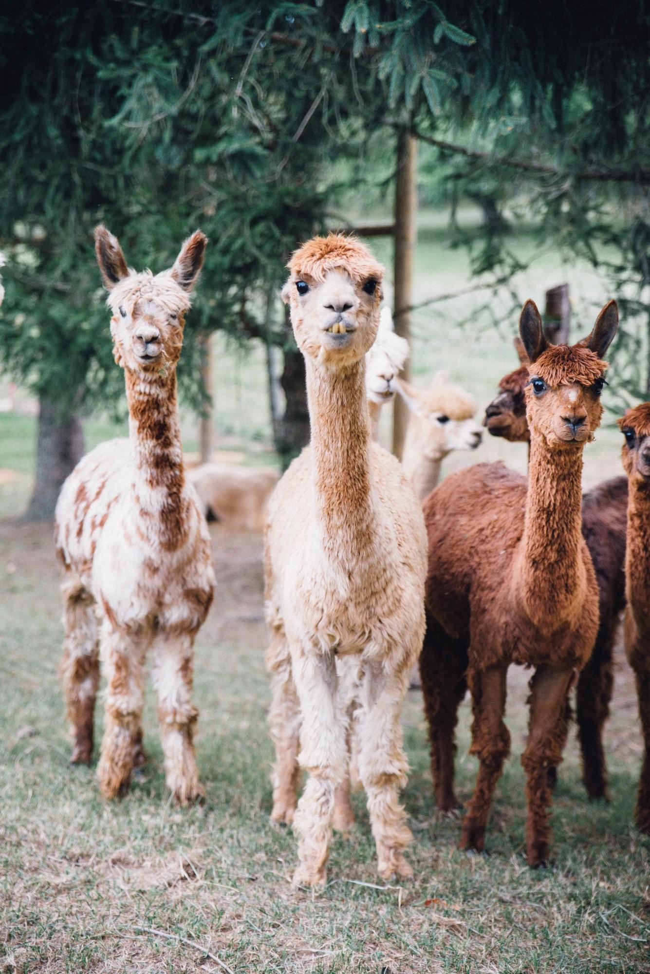 31-Alpacas_DSC0285-1335x2000.jpg