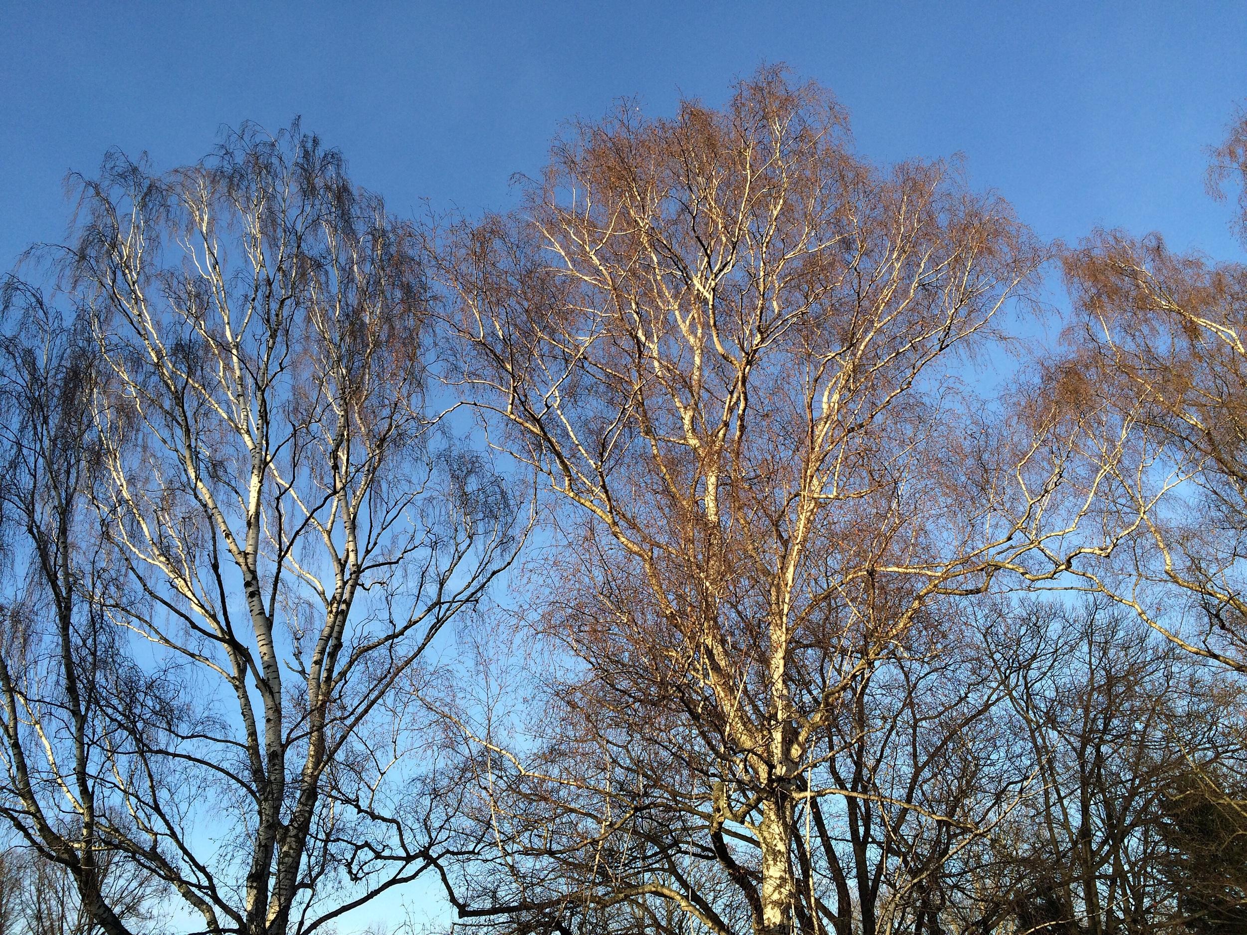 Trees in Tiergarten