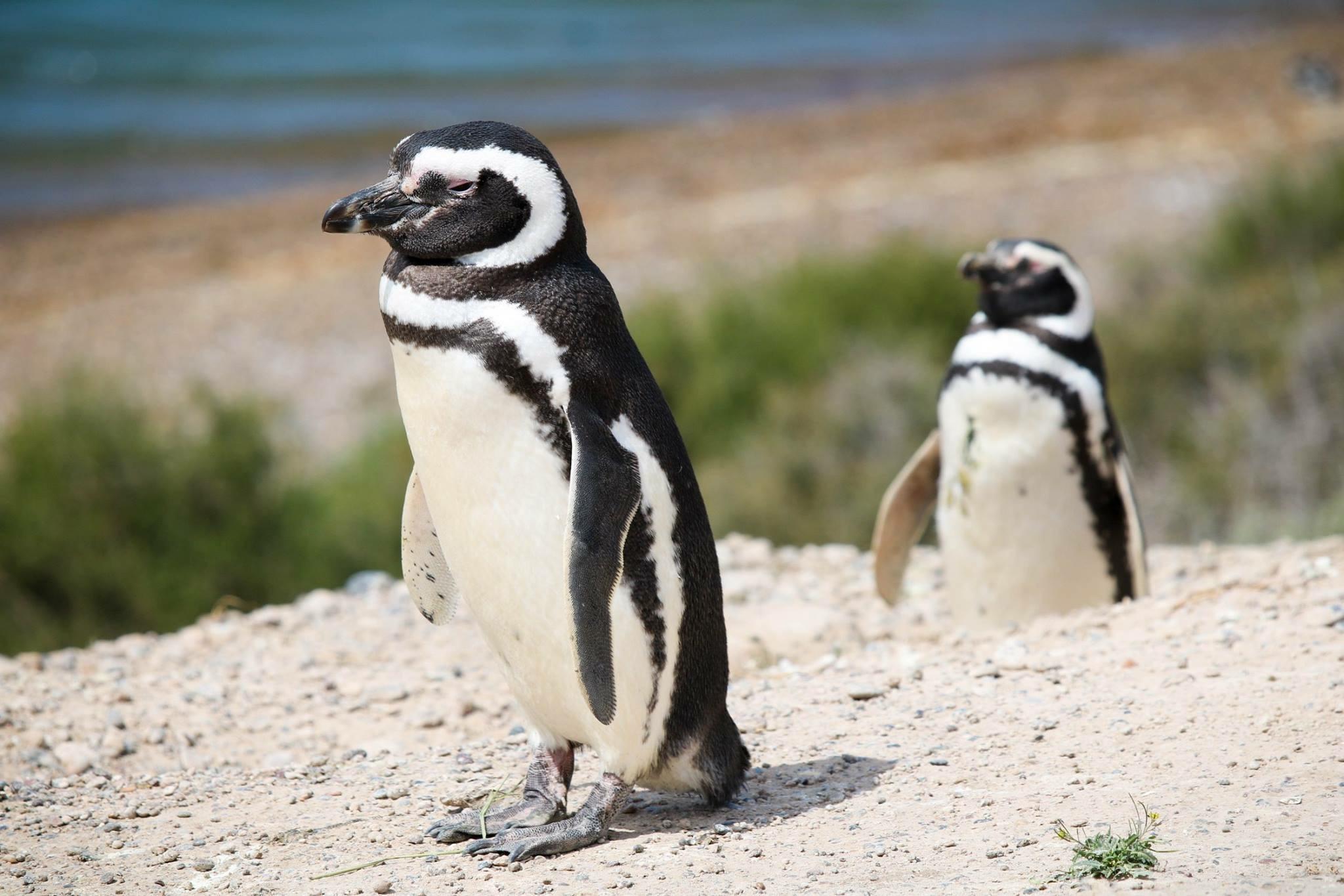 Penguins on Pensinsula Valdés