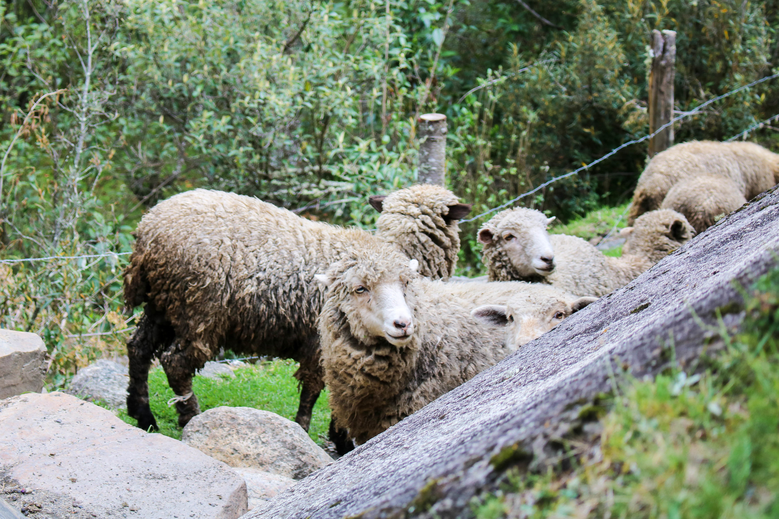 Sheep on the Trek, Peru