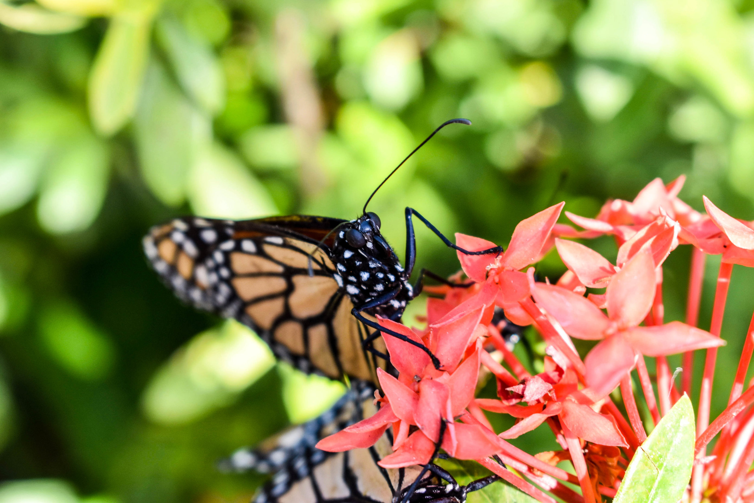 The Butterfly Garden in Reserva Charco Verde, Nicaragua