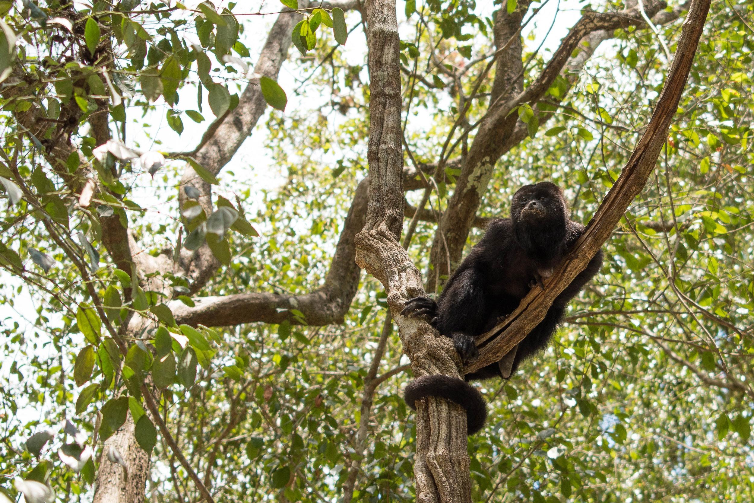 Monkey in a Tree in Tikal, Guatemala