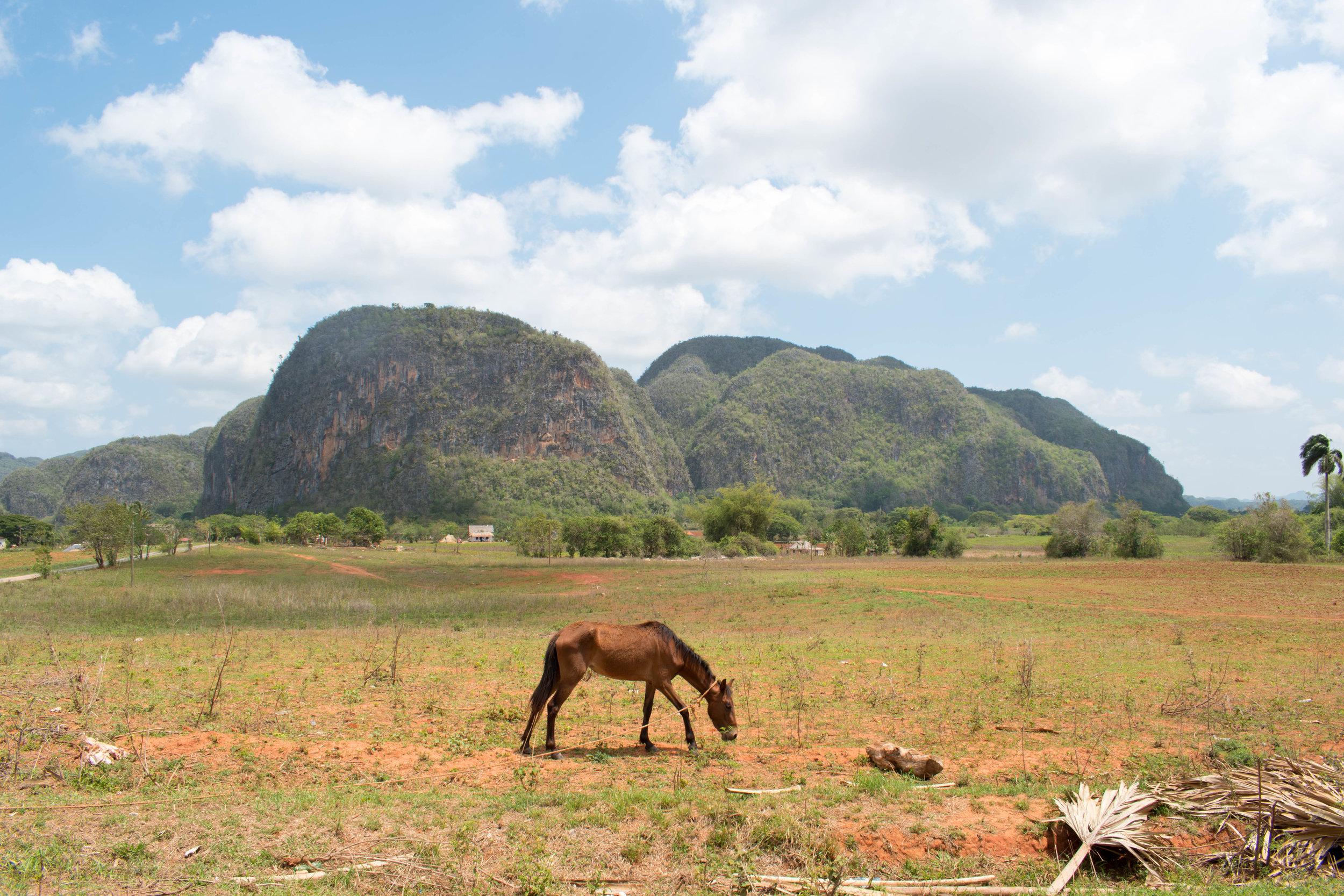 A Grazing Horse in Viñales, Cuba