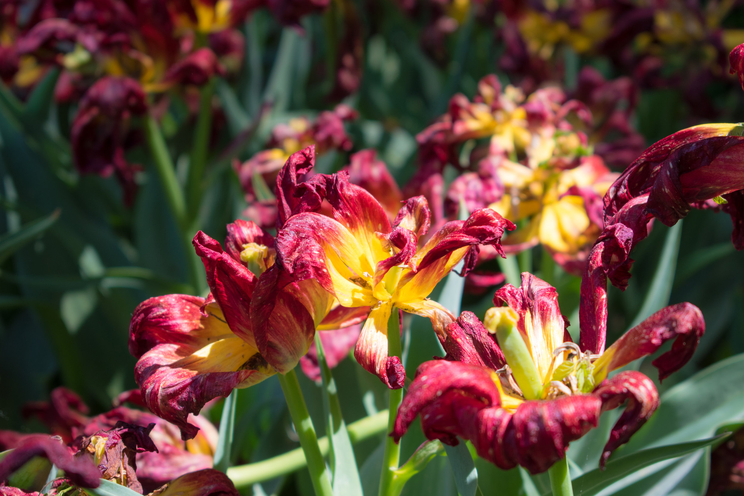 Withering Tulips in The Brooklyn Botanical Garden in New York