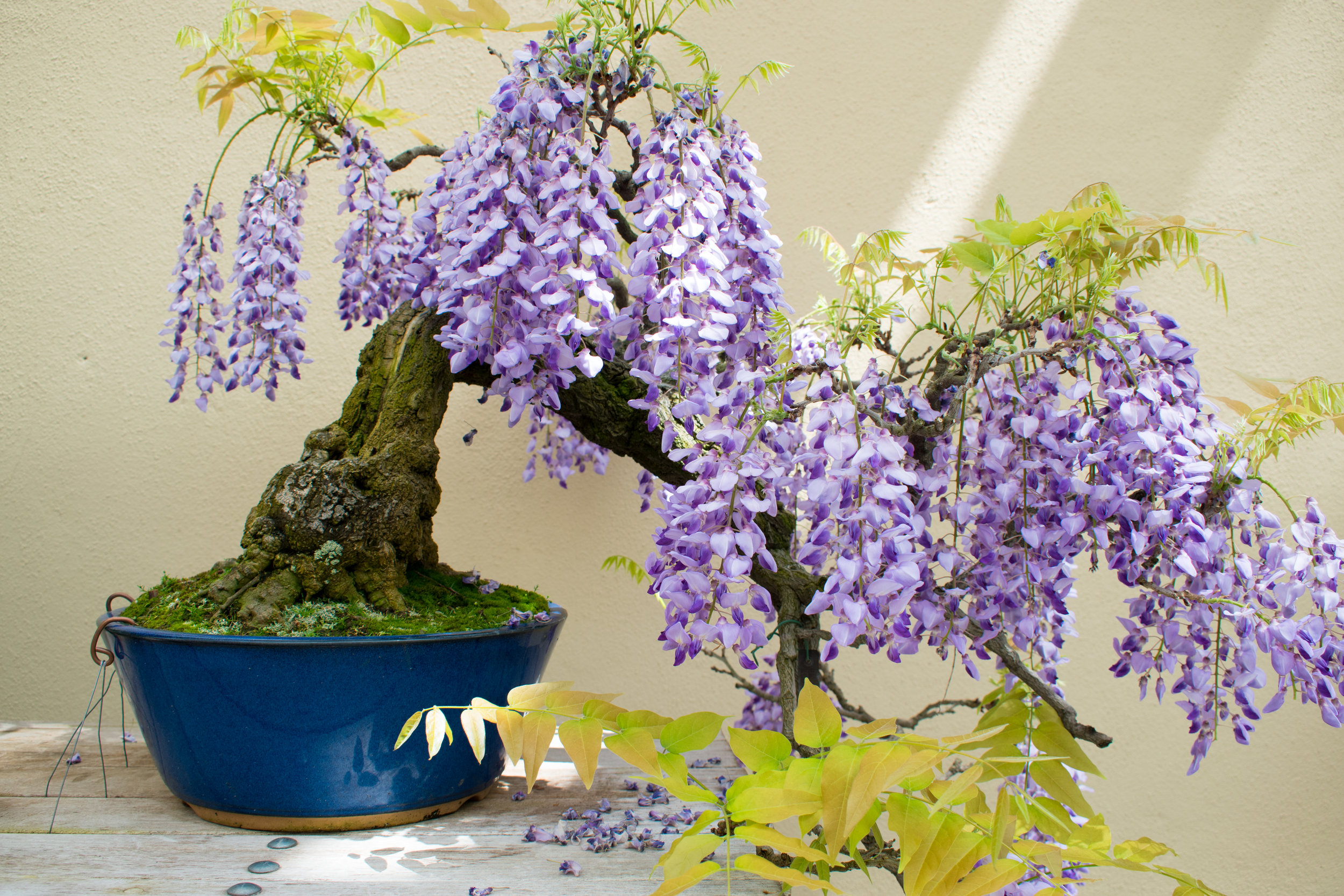 A Mininature Wisteria at The Brooklyn Botanical Garden, New York