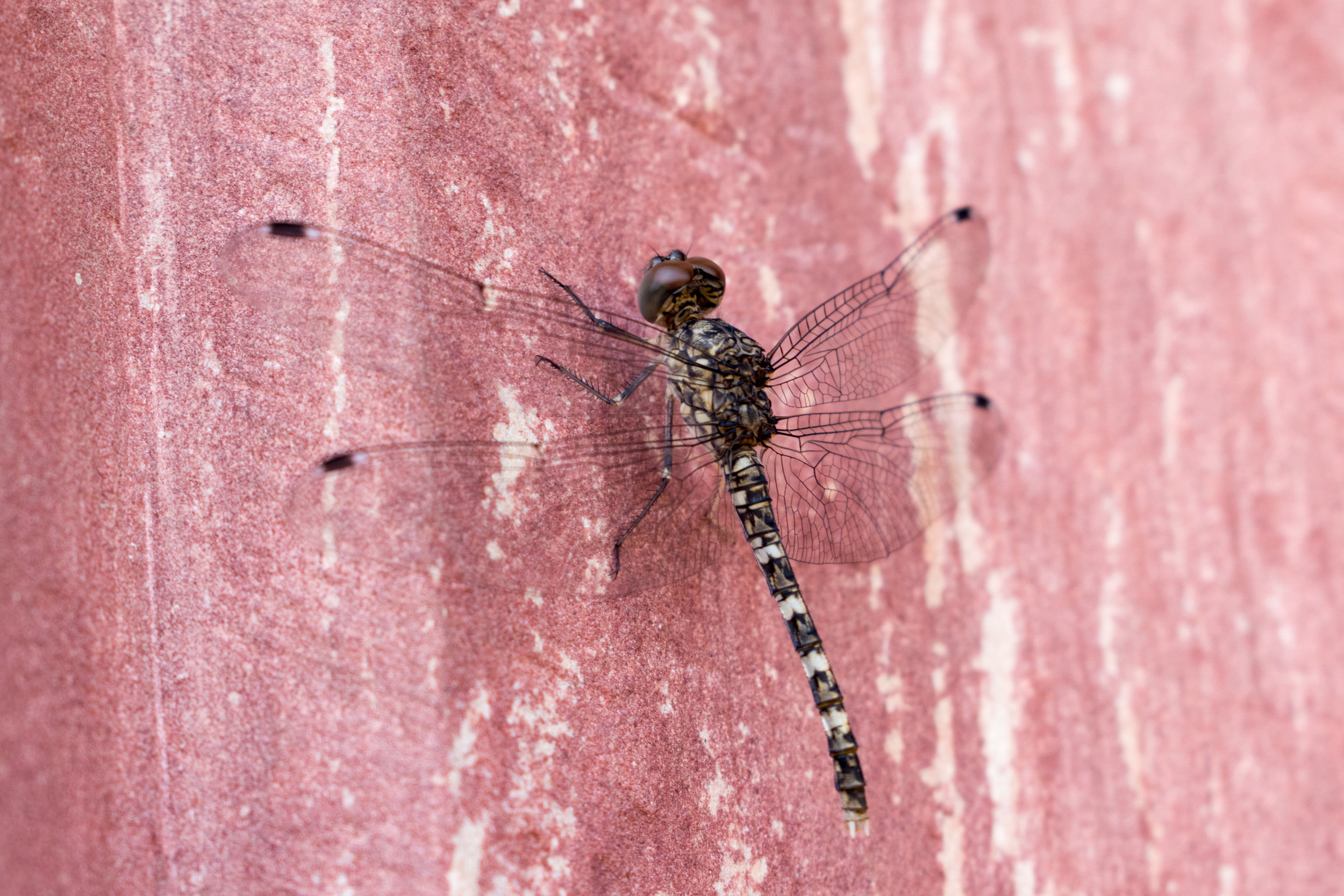 A Dragonfly on the Agra Fort Walls, India