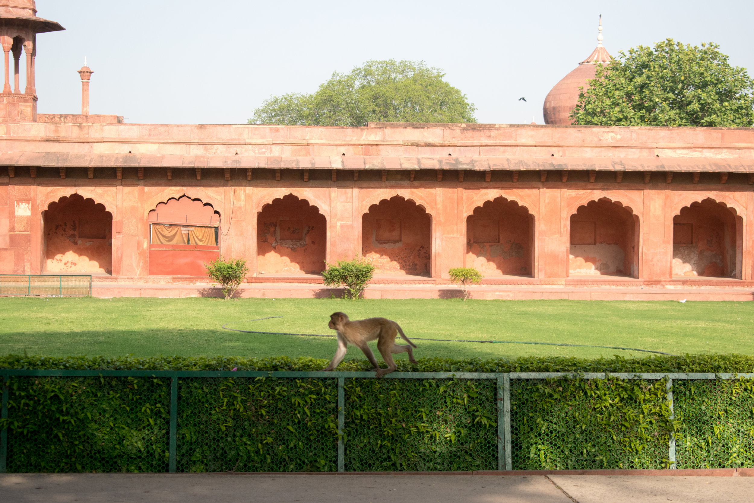 A Monkey Guards The Entrance, Agra in India