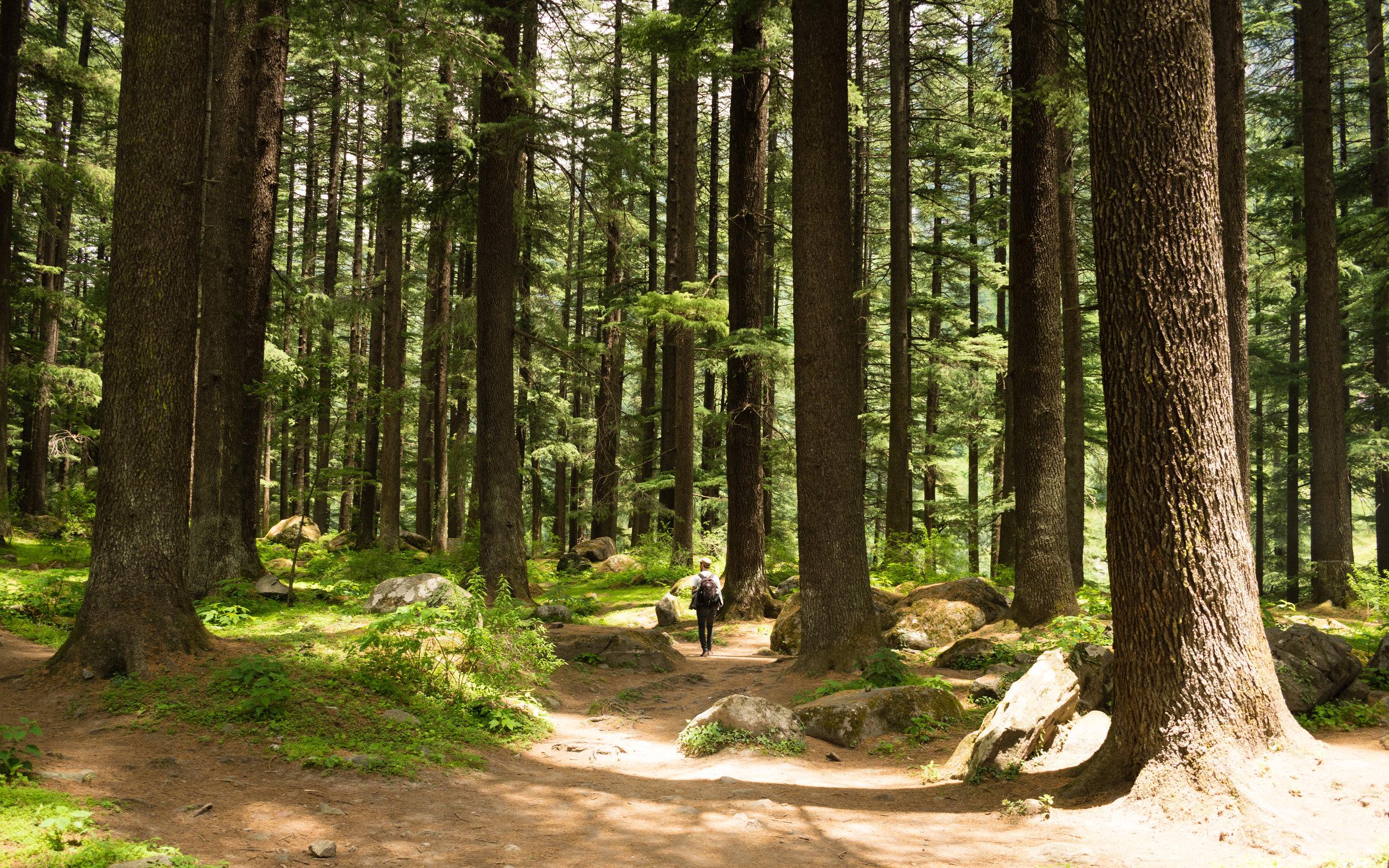 Craig Walking Through Cedar Forest In Manali, India