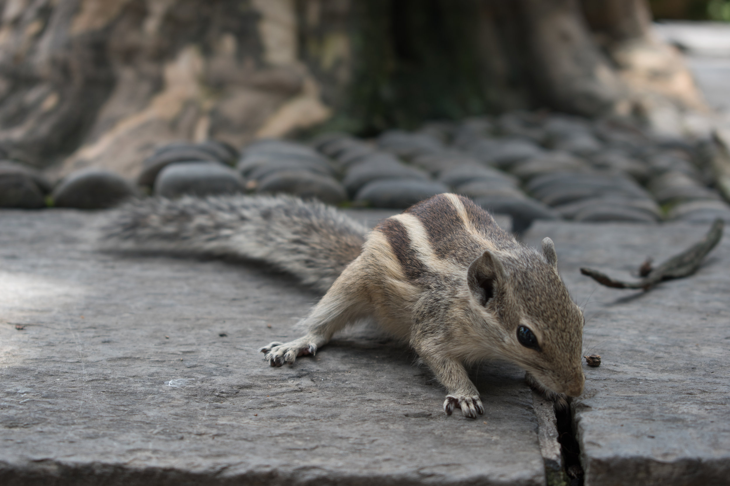 A Chipmunk In The Garden Of Dreams, Nepal