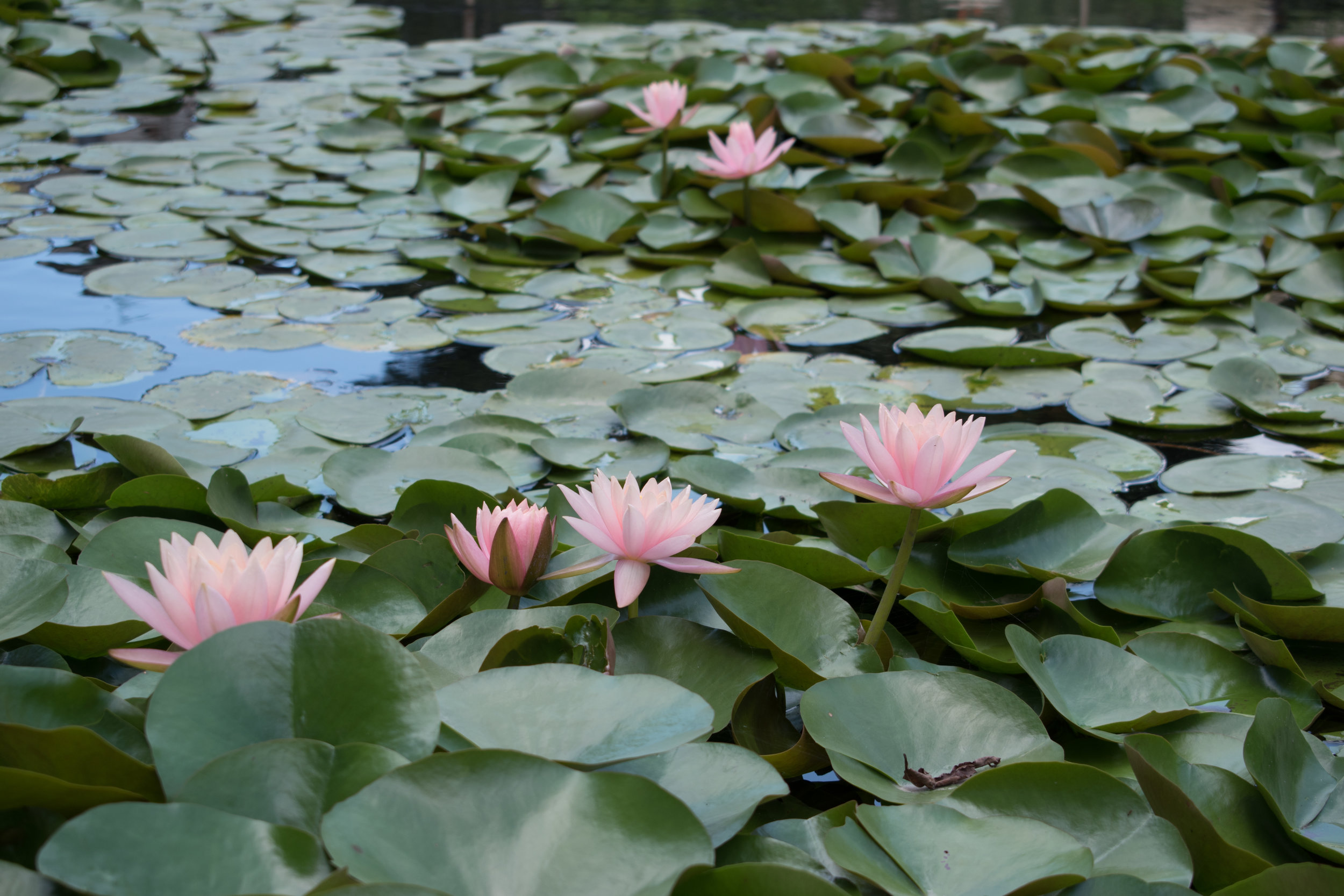 Lillies In The Garden Of Dreams In Kathmandu, Nepal