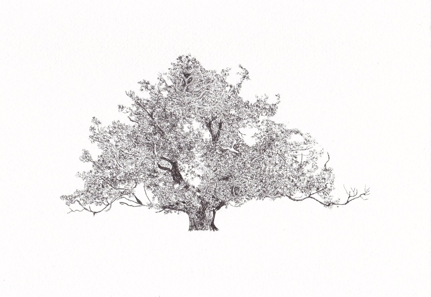 Oak ,  25.4cm x 17.8cm, pen on paper