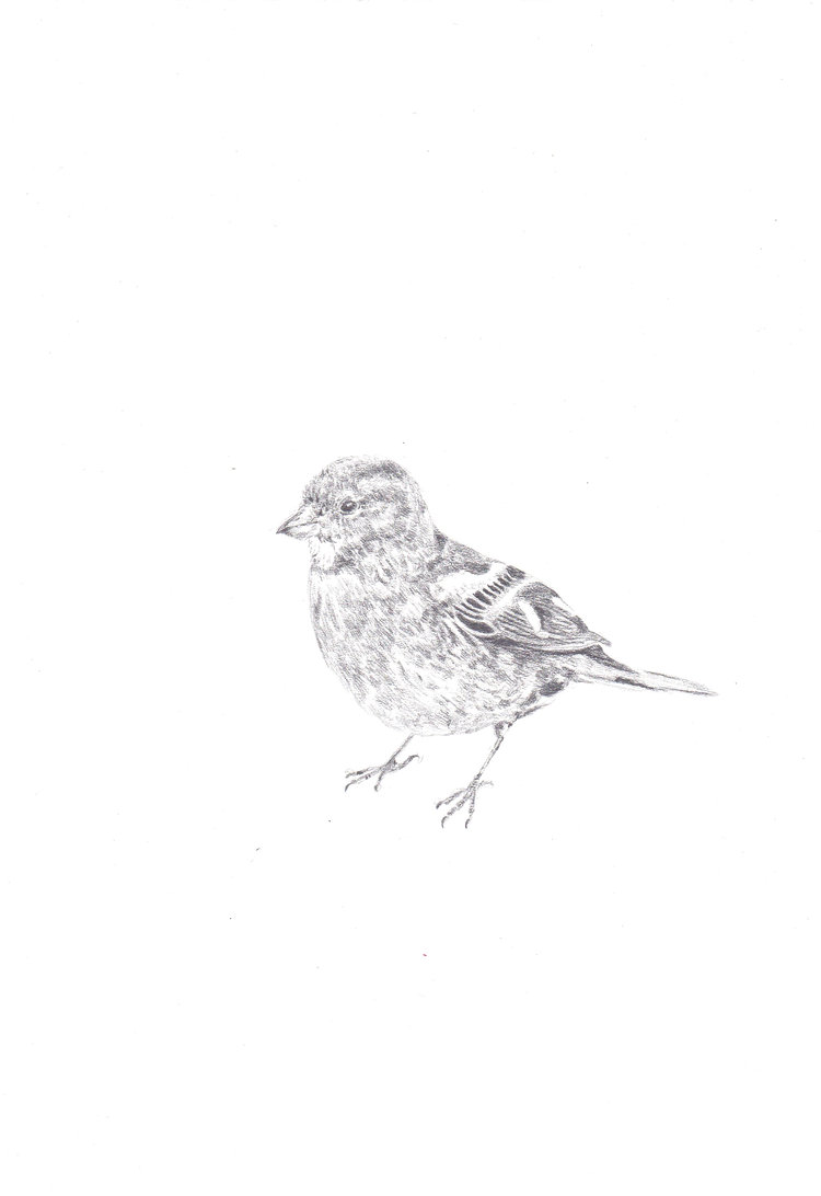 Day One Of One Hundred: A Female Chaffinch Drawn In Pencil